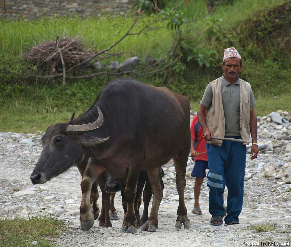 Water Buffalo With a Nepalese Farmer